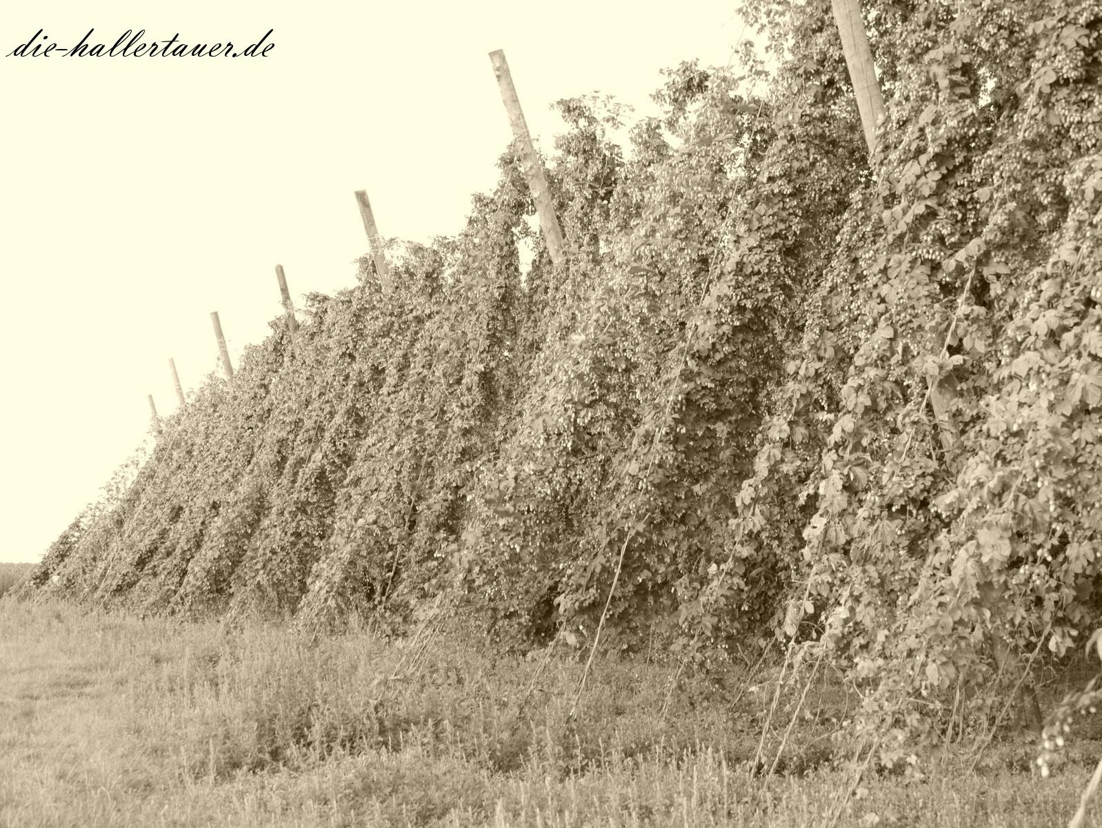 Hopfengarten von früher