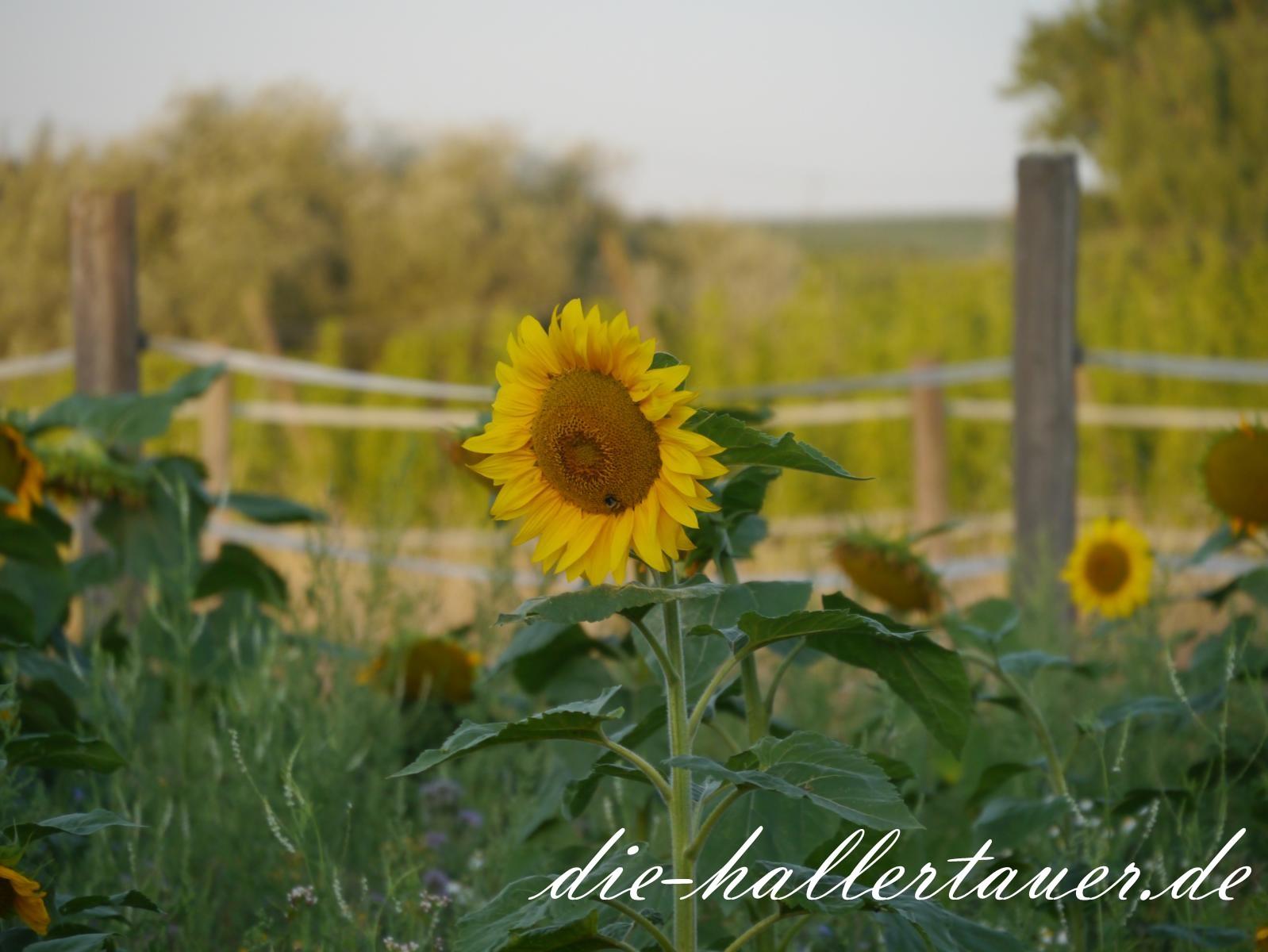 Sonnenblumen in der Hallertau