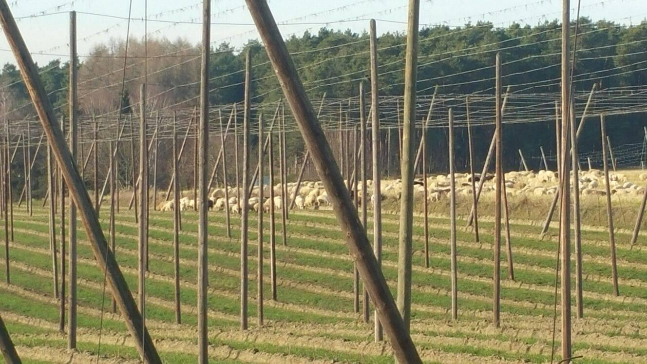 Hopfengarten der Schafe