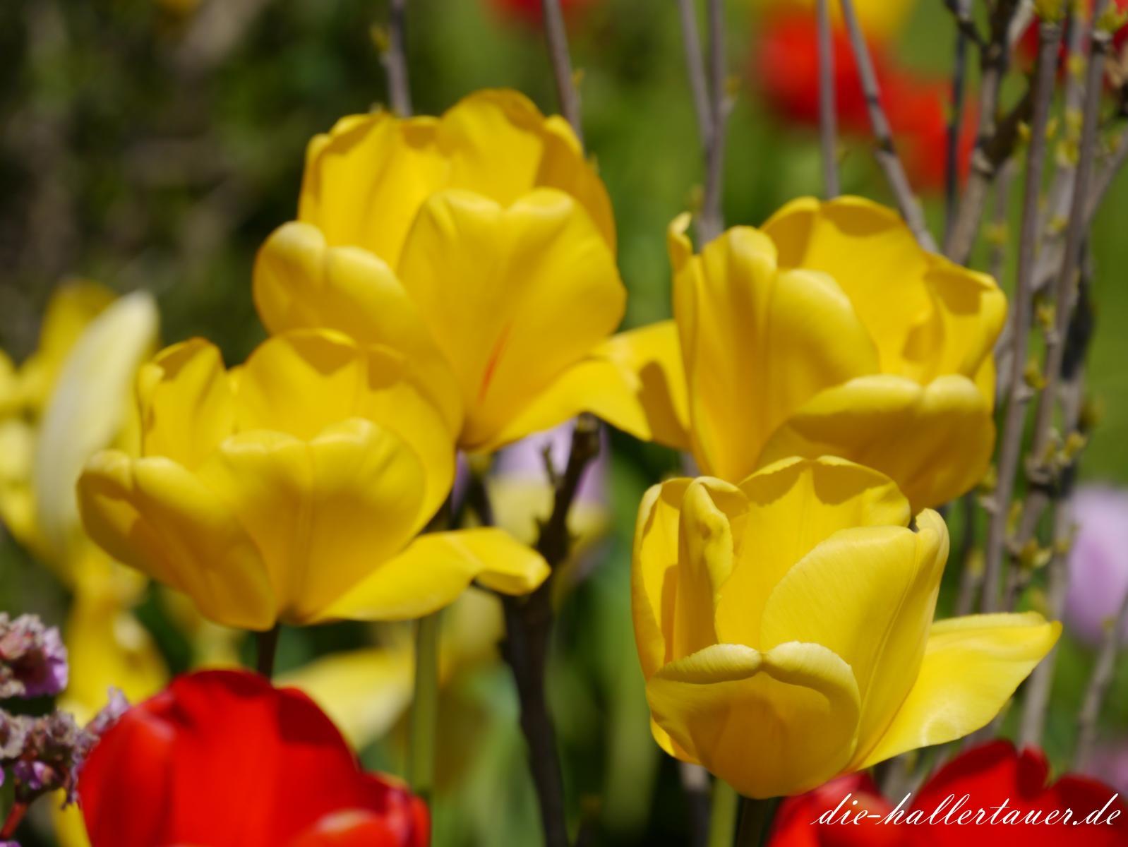 Hallertauer Tulpenpracht